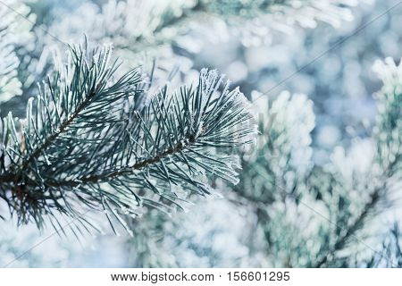 Winter background of blue pine branch in the snow and frost on a cold day. Macro nature.