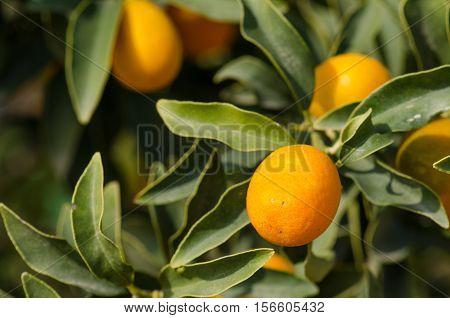 Kumquats growing. Kumquat is a small citrus