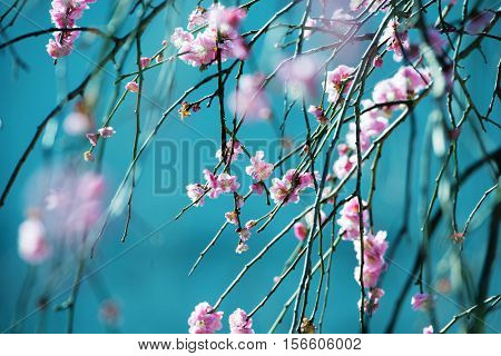 Pink Japanese plum (Prunus mume) also known as Japanese apricot blossom in early spring with blue background. Focus on center flower. Intentionally shot in impressional color and tone.