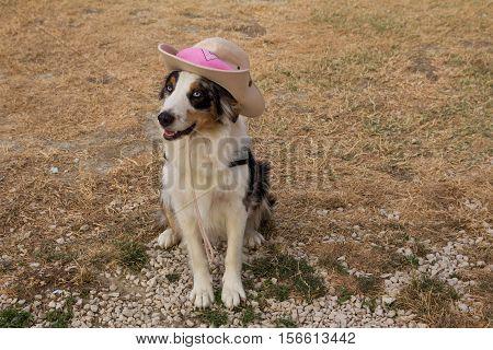 Funny animals: australian shepherd dog with cow boy hat