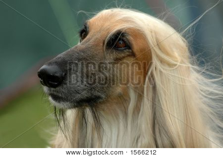 Afghan Dog Portrait