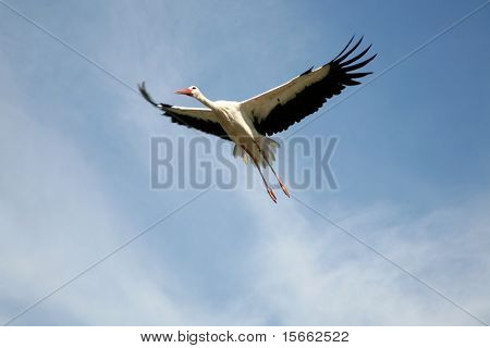 Stork (Ciconia) in flight, during take off
