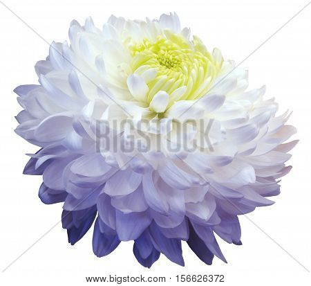 White-blue chrysanthemum flower yellow center. white background isolated with clipping path. Closeup. with no shadows. for design.