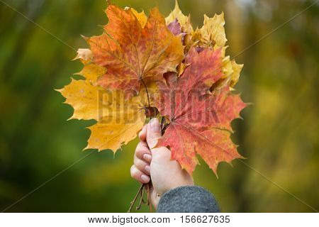 season, nature and people concept - close up of woman hand holding autumn maple leaves