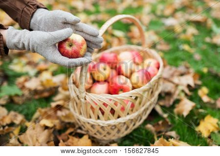 farming, gardening, harvesting and people concept - woman hands holding apples over wicker basket at autumn garden