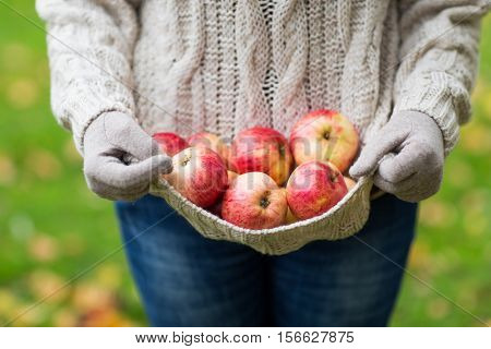 farming, gardening, harvesting and people concept - close up of woman with apples in sweater at autumn garden