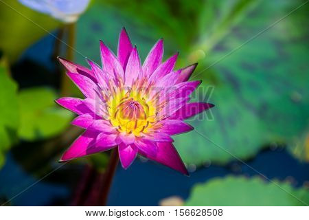 Blooming of lotus flower with the background of green leaves