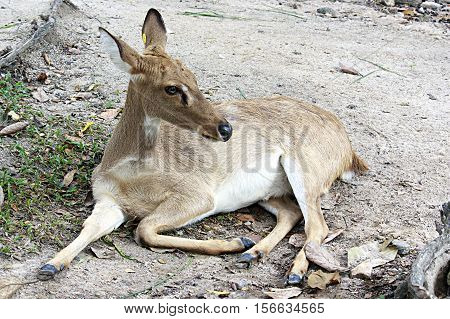 Brow-antlered deer, is an endangered species of deer indigenous to Southeast Asia. Animal scene.