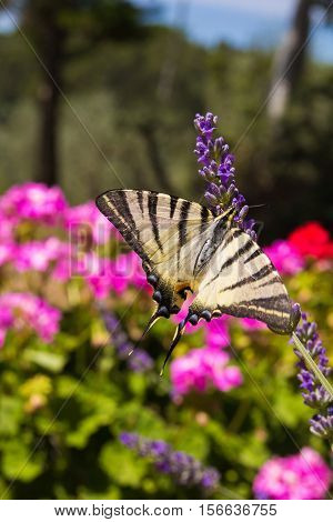 Scarce Swallowtail Iphiclides podalirius butterfly also called Sail or Pear-tree, on Lavander flowers