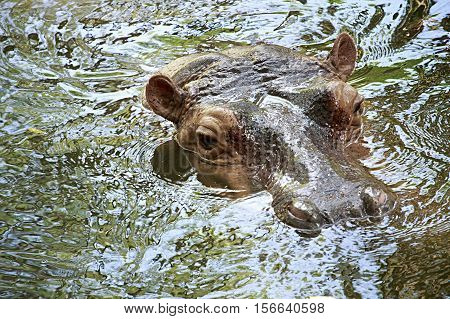 Hippo Swiming At The Zoo In Thailand