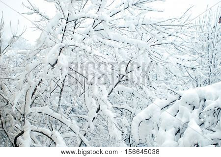 The branches with snow in the winter day