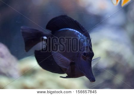 Black longnose tang (Zebrasoma rostratum), also known as the longnose surgeonfish.