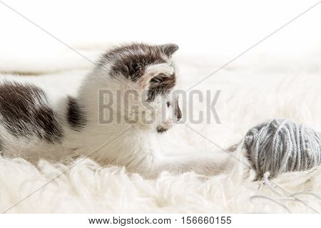 Small kitten hunting for the hank on white background
