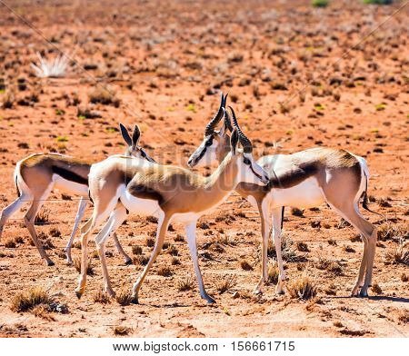 Small herd of antelope impala grazing in the savannah. Dirt road in the African steppe. The concept of exotic tourism. Travel to Namibia