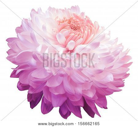 pink chrysanthemum flower pink center. white background isolated with clipping path. Closeup. with no shadows. for design.