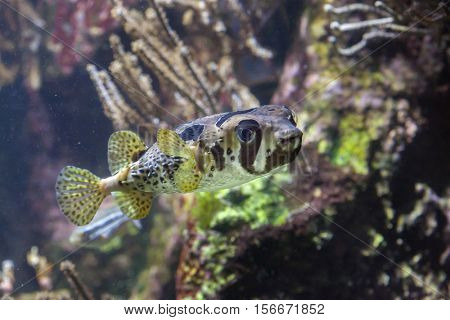 Longspined porcupinefish (Diodon holocanthus), also known as the freckled porcupinefish. poster