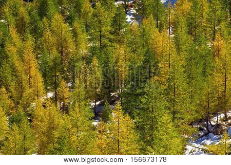 in autumn, the larch trees are beginning to be tinged with yellow.
