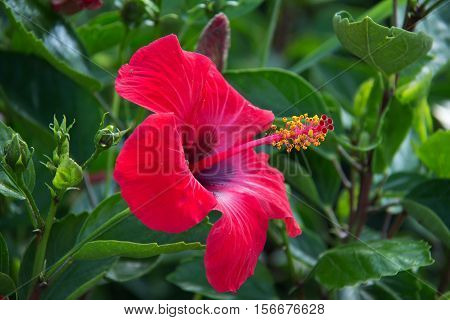 Hibiscus Flower / Beautiful hibiscus flower on a green background