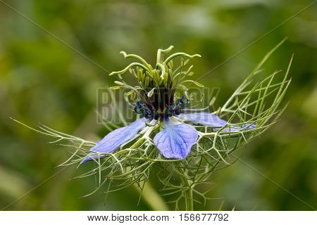 Nigella damascena /  Beautiful garden flowers .