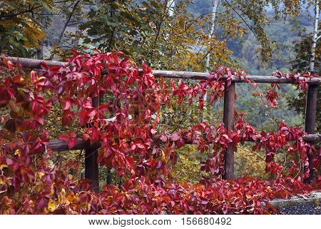 The fence with Virginia creeper with red leaves