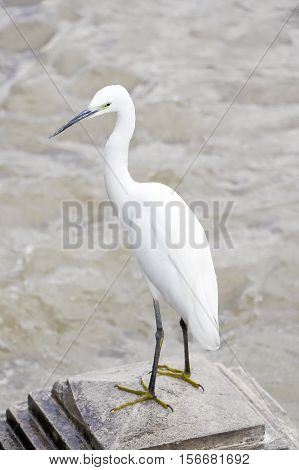 A White Heron bird (Great egret) standing at the river