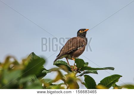 Common Myna bird (Acridotheres tristis) perching on the tree