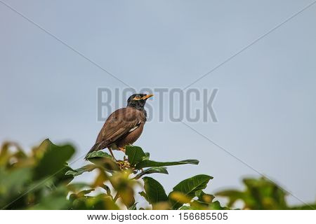 Common Myna Bird Perching On The Tree