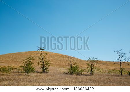 Desert hill with yellow dry parched grass and sparse trees and blue cloudless sky. Atmospheric scenic nature