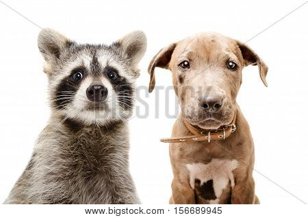 Portrait of funny raccoon and pit bull puppy, closeup, isolated on white background