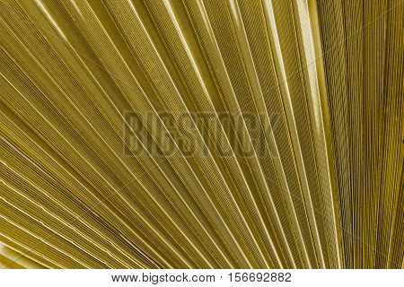 corrugated texture of a palm leaf of khaki color closeup or corrugated fan lines for an abstract background