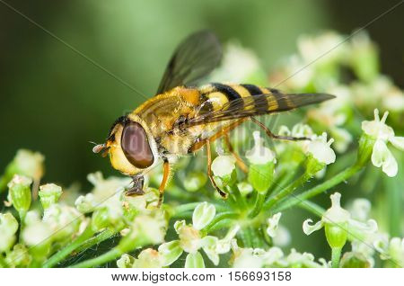 Insect, Hoverfly. Eupeodes corollae on a flowers