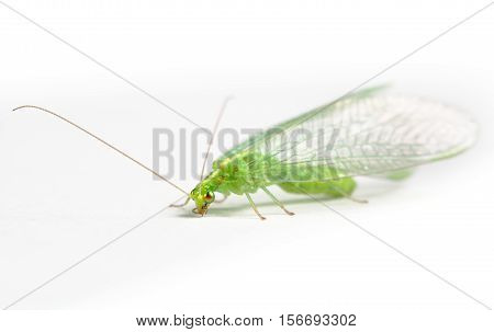 Insect. Chrysopidae green lacewing on white background
