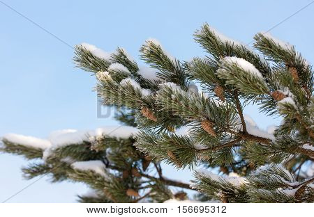 pine branch with snow in the foreground