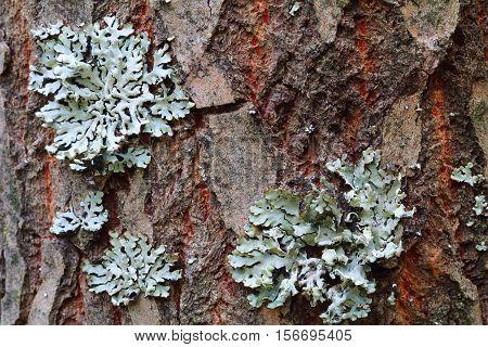 Lichen Hypogymnia physodes growing on a tree trunk