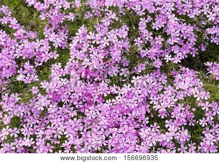 Pink and purple moss phlox flowers. Detail