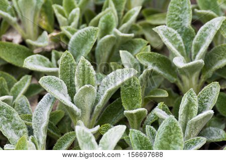 Stachys Woolly greenery garden plants at springtime. Detail