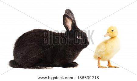 Black bunny and duckling isolated on white background
