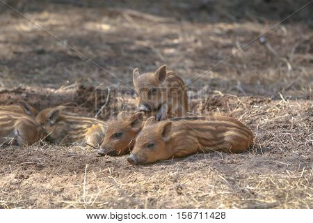 Brood Of Lovely Young Wild Boars