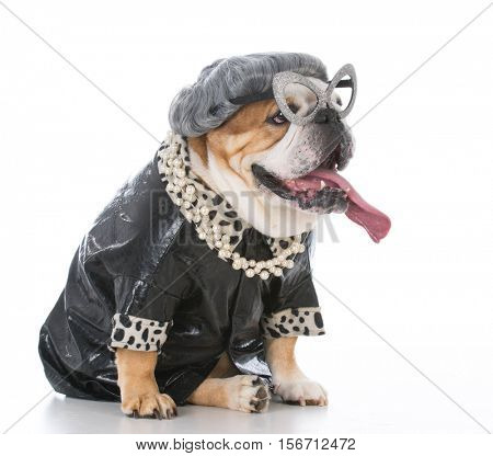 senior female bulldog dressed like an old lady