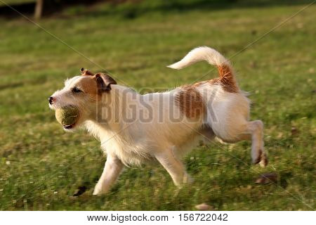 A Jack Russell Parson Terrier Hunter Dog