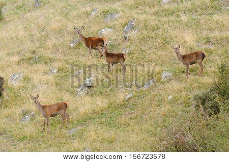 Red deer (cervus elaphus) in New Zealand