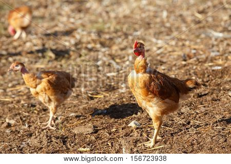 Flock Of Chickens Roam Freely In A Lush Green Paddock Of An Organic Breeding