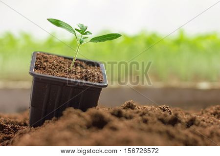 Potted Seedlings Growing. Small Plant Growing In Clay Pot