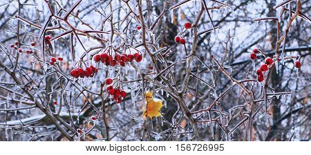 Ice-glazed red berries on a thorny bush