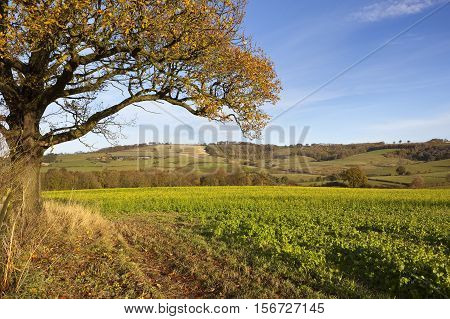 Oak Tree And Mustard Crop