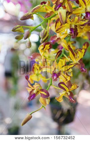 Yellow Dendrobium Memoria Loo Sing Chew Orchid.
