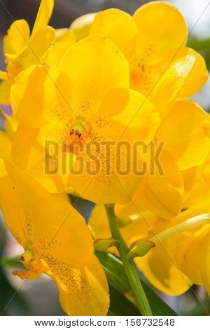 Yellow Vanda Orchid.