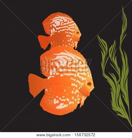 Aquarius Fish - Discus
