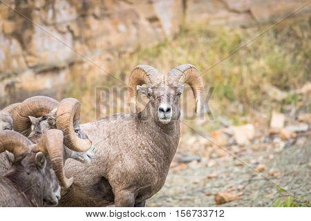 Bighorn sheep in an outdoor wildlife environment