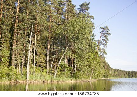 The view of a forest by Baltis (White) Lake in the evening light (Lithuania).